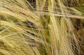 We will buy barley, wheat